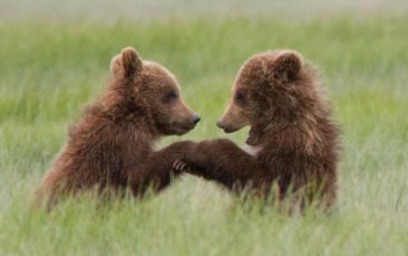bears2_hires