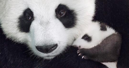 Disneynature's Born in China Trailer Released