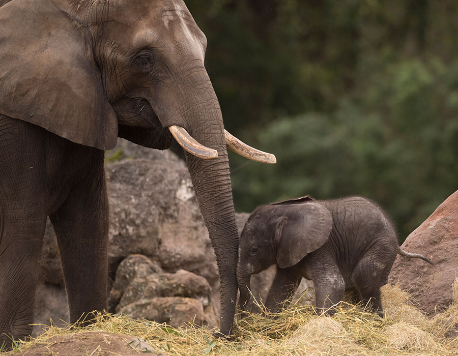 Animal Kingdom Welcomes Stella - A New Baby Elephant