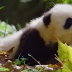 "Disneynature's ""Born in China"" Celebrates National Panda Day"