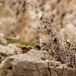 Disney Makes Contribution to Protect Snow Leopards and Pandas
