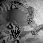 Tiger Cubs Born at Disney's Animal Kingdom