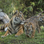 Tiger Cubs Born at Disney's Animal Kingdom Make On-Stage Debut