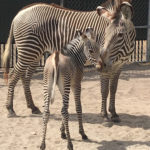 Disney's Grevy's Zebra Foals Make On Stage Debut