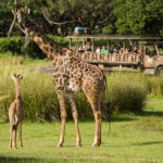Baby Masai Giraffe Makes Debut on Kilimanjaro Safaris