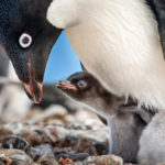 "Disney Releases Trailer for Disneynature's ""Penguins,"" Announces New Conservation Initiative"