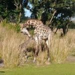 New Baby Masai Giraffe Born at Disney's Animal Kingdom
