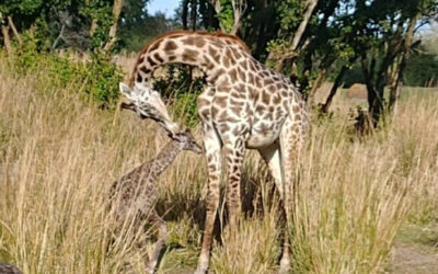New Baby Masai Giraffe Born at Disney's Animal Kingdom