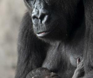 Disney's Animal Kingdom Welcomes New Baby Gorilla
