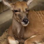 Baby Eland Born at Disney's Animal Kingdom in the Wake of Hurricane Dorian