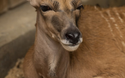Baby Eland Born at Disney's Animal Kingdom in the Wake of Hurricane Dorian