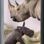 A White Rhino Calf Was Born at Walt Disney World
